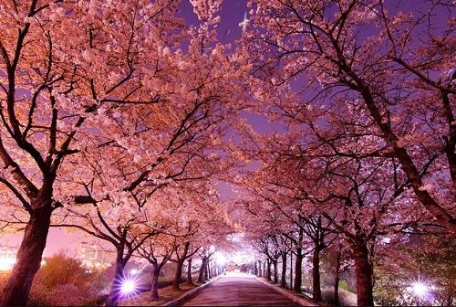 cherry-blossom-korea-selatan