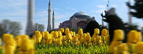 tulip turki